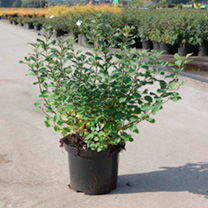 Spiraea betulifolia Plant - Island