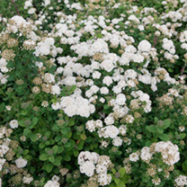 A compact deciduous shrub. Bearing fluffy white clouds of flowers in May and June with lush green foliage. Great for bees and pollinating insects. Hei