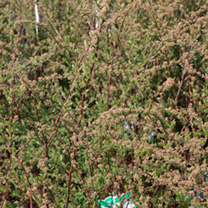 This Spirea produces long arching stems, covered with masses of tiny white flowers in July and August. A deciduous shrub that is hardy and will look g