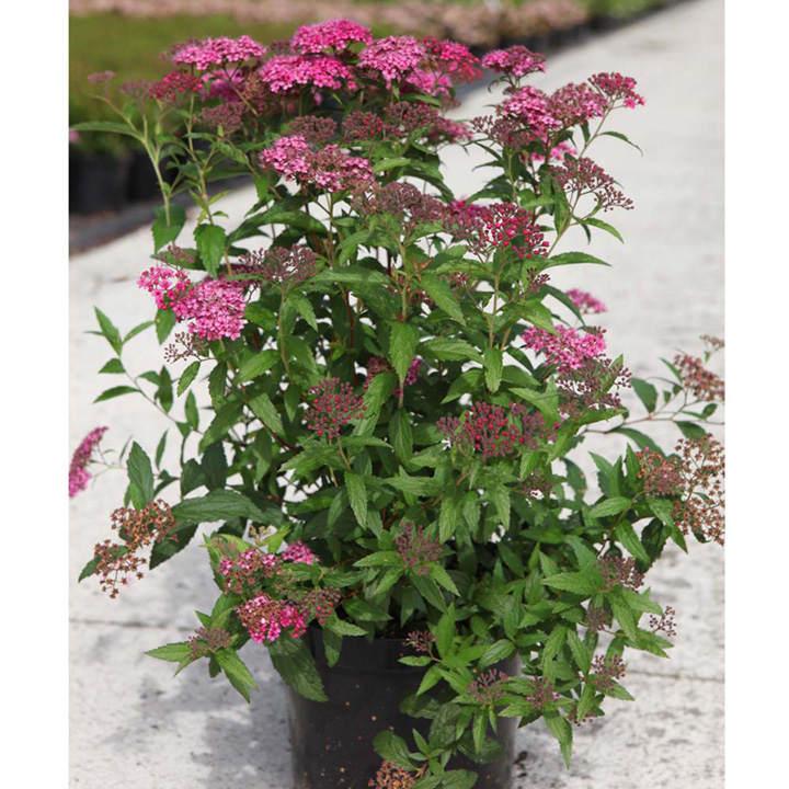 Spiraea japonica Plant - Double Play Artist®