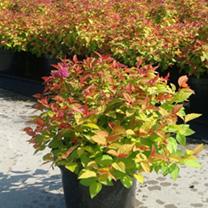 Spiraea japonica Plant - Nana