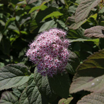 Spiraea japonica Plant - Superstar First Editions
