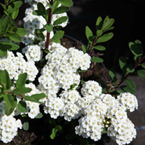 Spiraea nipponica White Carpet or Spiraea nipponica 'Gelspir is a very low growing, deciduous shrub with an upright habit that produces waves of small