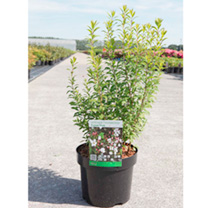 This Spirea produces small, fine textured willow-like leaves with toothed edges. It blooms in early spring, pink buds opening to white flowers all alo