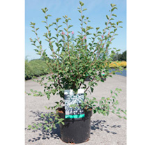 This beautiful deciduous shrub has been grown in our gardens for over a century, and, as the largest spiraea, is ideal for the back of a border. In ea
