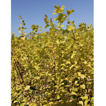 Click to view product details and reviews for Staphylea Colchica Plant.
