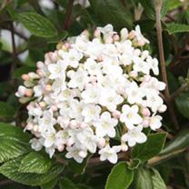Viburnum burkwoodii Plant - Anne Russell