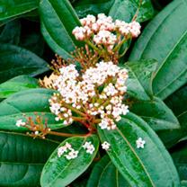 Viburnum davidii Plant