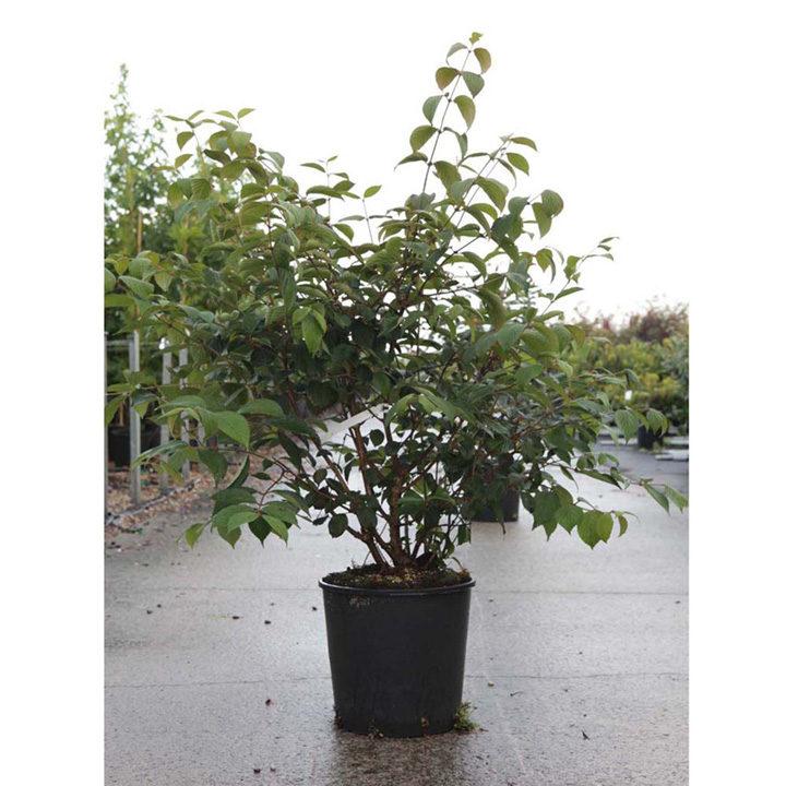 Viburnum plicatum Plant - Shasta