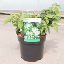 Viburnum plicatum Plant - Shoshoni