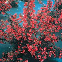 Weigela florida Plant - Alexandra®