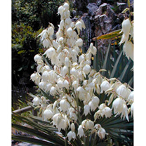 Yucca recurvifolia Plant - Banana Split