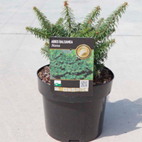 A dwarf evergreen conifer Abies Nana is a slow growing mound-like conifer that will need very little maintenance. Perfect for rockeries, the densly-br