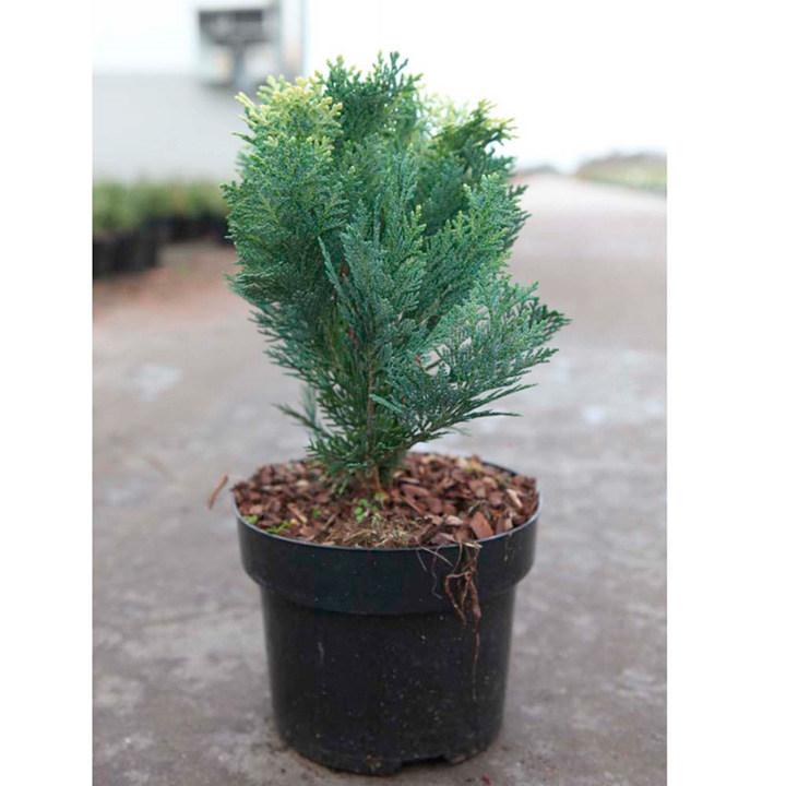 Chamaecyparis l. Plant - Pygmaea Agrentea
