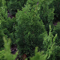 Chamaecyparis o. Plant - Nana Gracilis