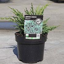 Juniperus chin. Plant - Blaauw