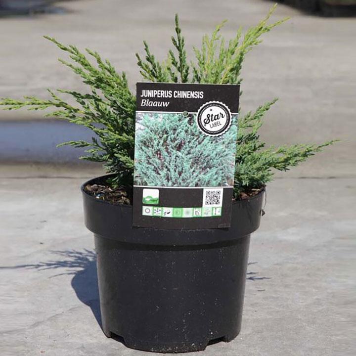 Juniperus chinensis Plant - Blaauw