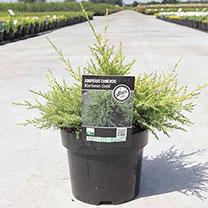 Juniperus chinensis Plant - Kuriwao Gold