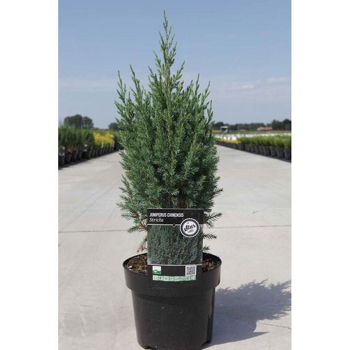 Juniperus chinensis Plant - Stricta