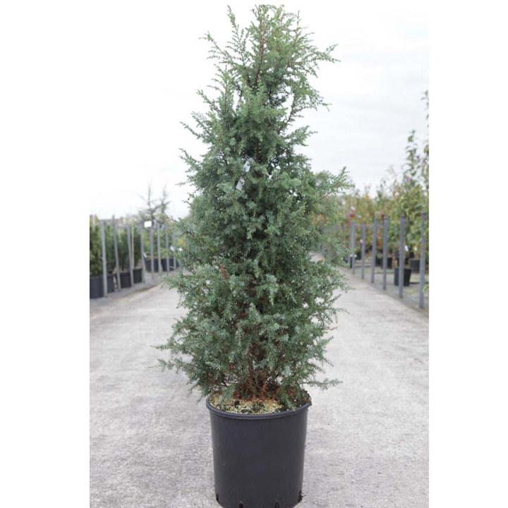 Juniperus communis Plant - Repanda