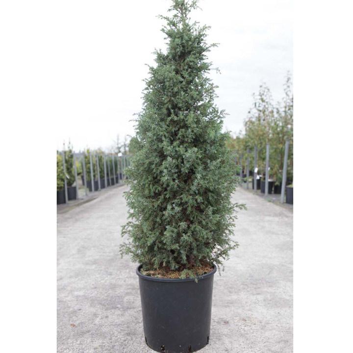 Juniperus conferta Plant - All Gold