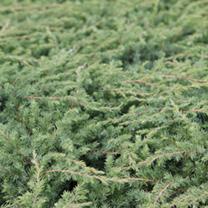 Juniperus davurica Plant - Leningrad