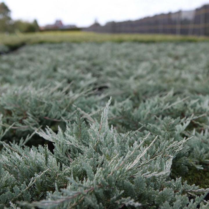 Juniperus horizontalis Plant - Golden Carpet