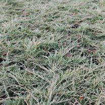 Juniperus horizontalis Plant - Pancake