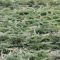Juniperus horizontalis Plant - Prostrata