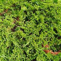 Juniperus sabina Plant - Rockery Gem