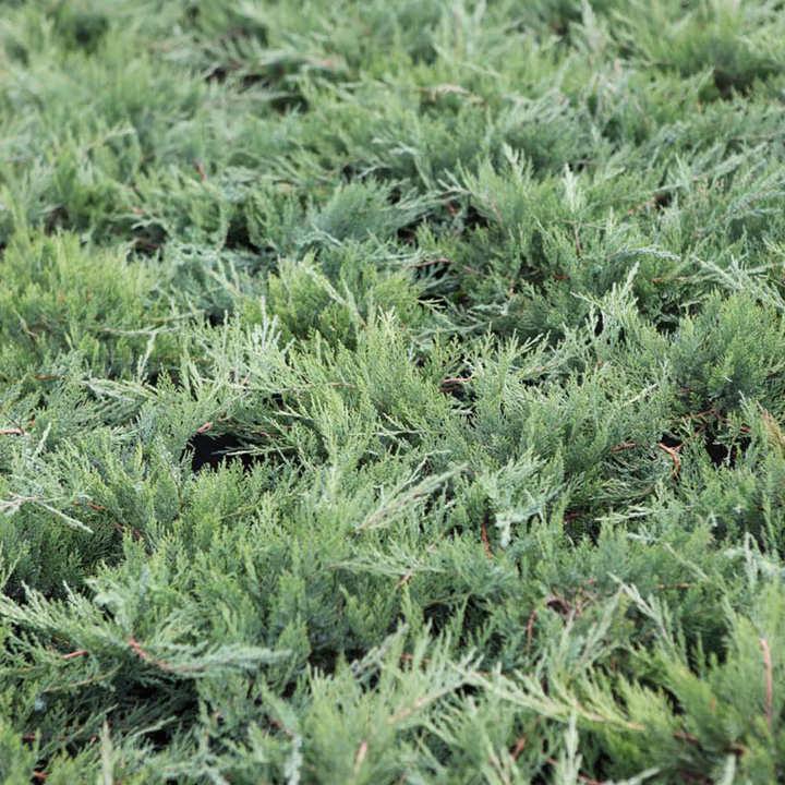 Juniperus sabina Plant - Tamariscifolia