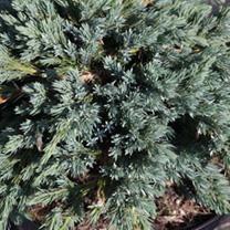 Juniperus squamata Plant - Blue Star