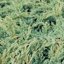 Juniperus squamata Plant - Blue Swede