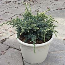 Juniperus squamata Plant - Holger