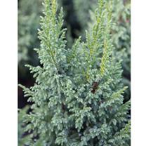 Juniperus squamata Plant - Little Joana