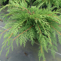 Microbiota decussata Plant - Fuzzball