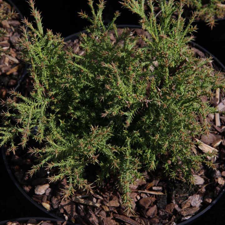 Picea abies Plant - Nidiformis