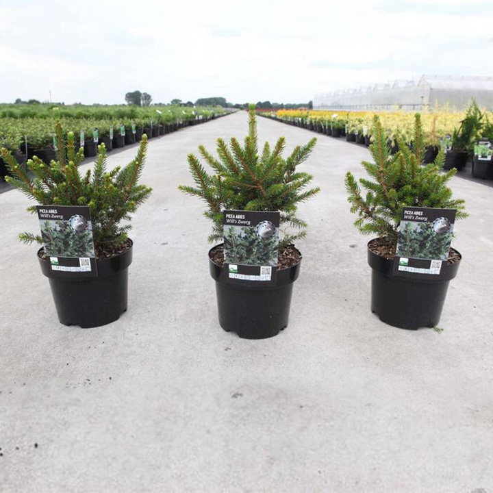 Picea abies Plant - Will's Zwerg