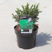 Picea omorika Plant - Karel