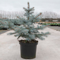 Picea pungens Plant - Blue Diamond