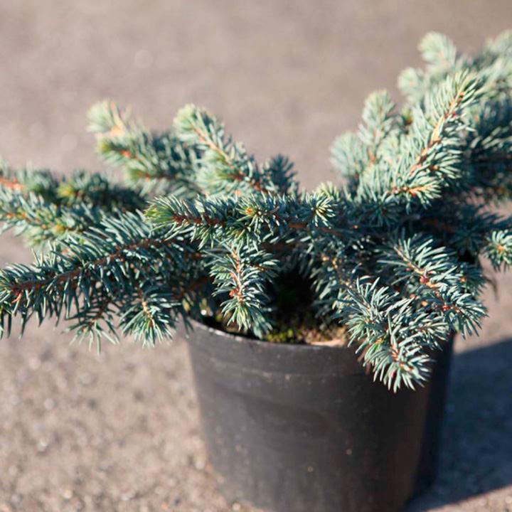 Picea pungens Plant - Waldbrunn