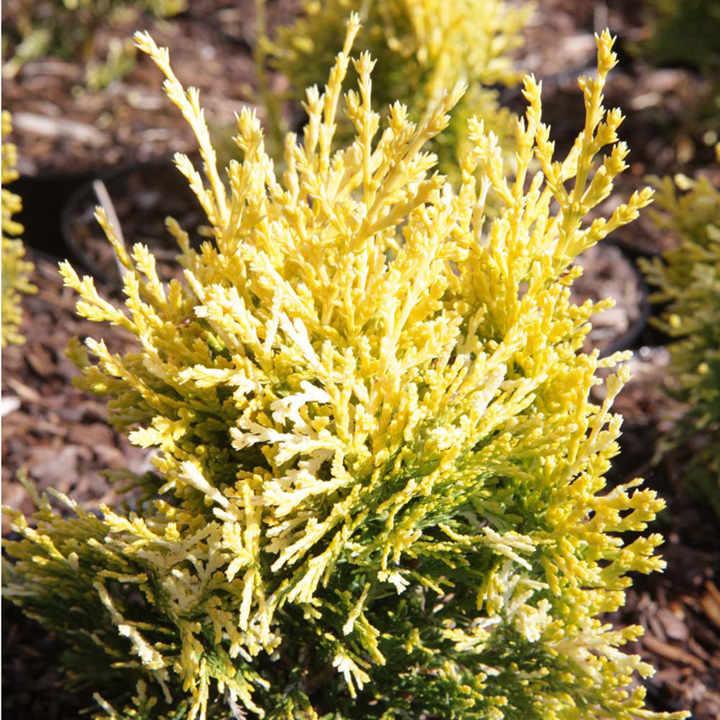 Platycladus or. Plant - Pyramidalis Aurea (Thuja)