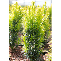 Taxus baccata Plant - Ivory Tower
