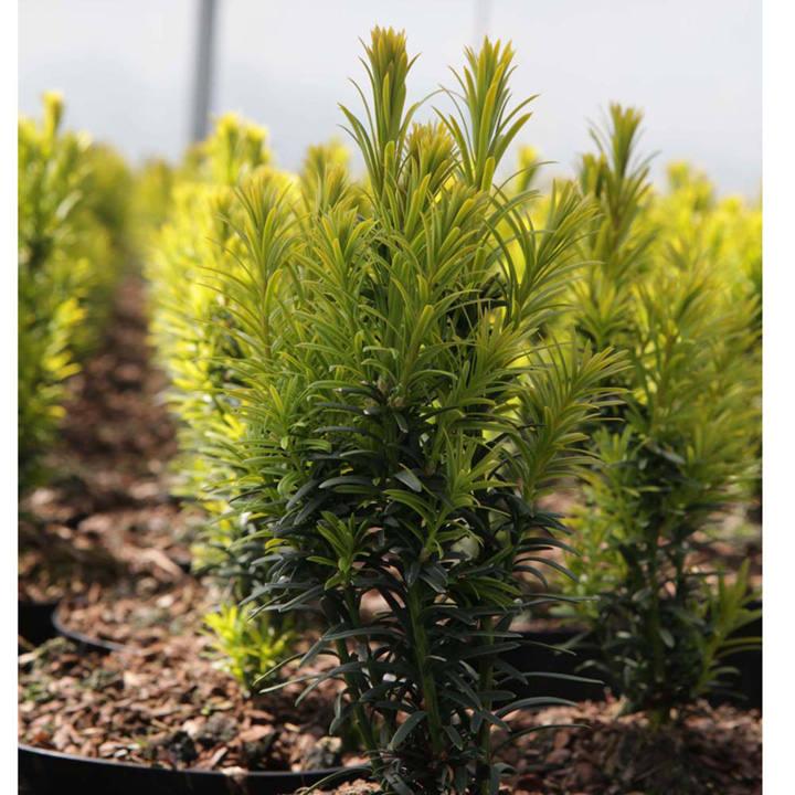 Taxus baccata Plant - Kupfergold
