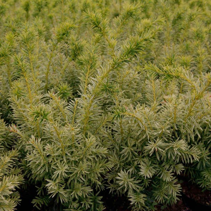 Taxus cuspidata Plant - Dwarf Bright Gold