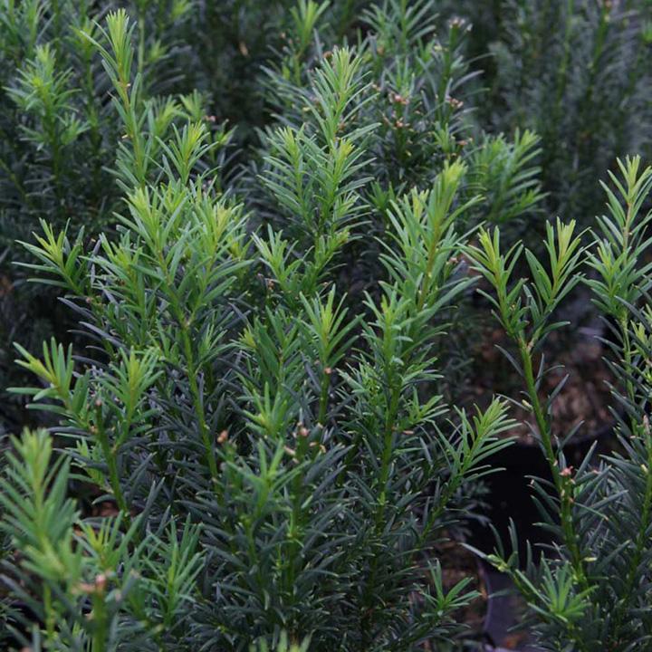 Taxus media Plant - Hicksii