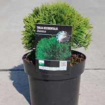 Thuja occidentalis Plant - Dancia