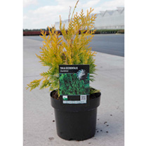 Thuja occidentalis Plant - Sunkist
