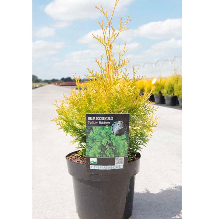 Thuja occidentalis Plant - Yellow Ribbon