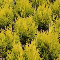 Thuja plicata Plant - Atrovirens